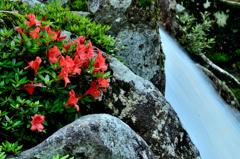 渓流に咲く岩躑躅ーⅣ