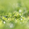 Morning Grasses