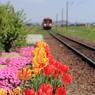 チューリップと北条鉄道
