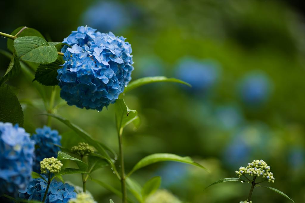 雨が似合う花