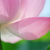 蓮花の襟足