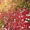 草紅葉、チングルマ