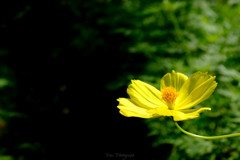 -Lemon Yellow-