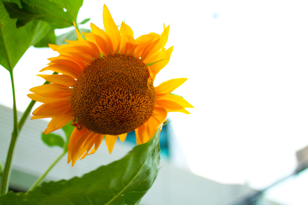 R246沿いの単独向日葵