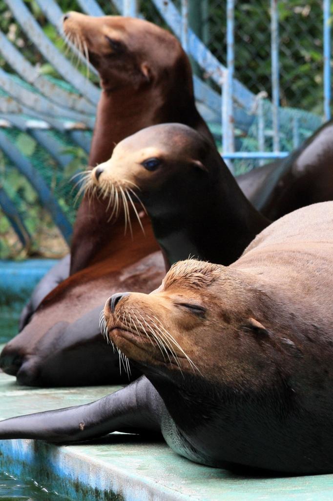 カリフォルニアアシカ 天王寺動物園にて