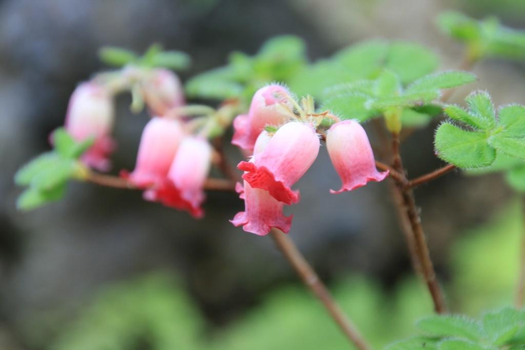 紫釣鐘躑躅 植物園にて