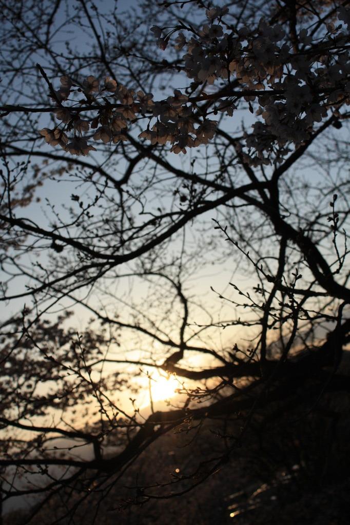 こんな桜も・・・。