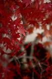 紅く静かに咲き乱れ