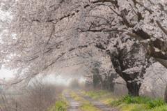 桜・夢回廊