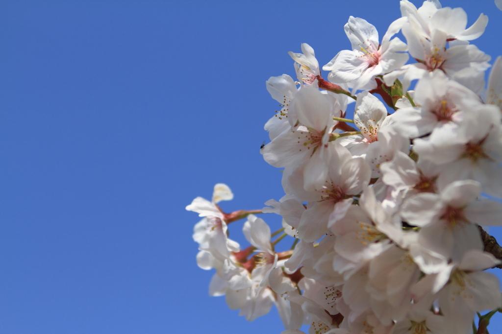 青空に咲く・・・