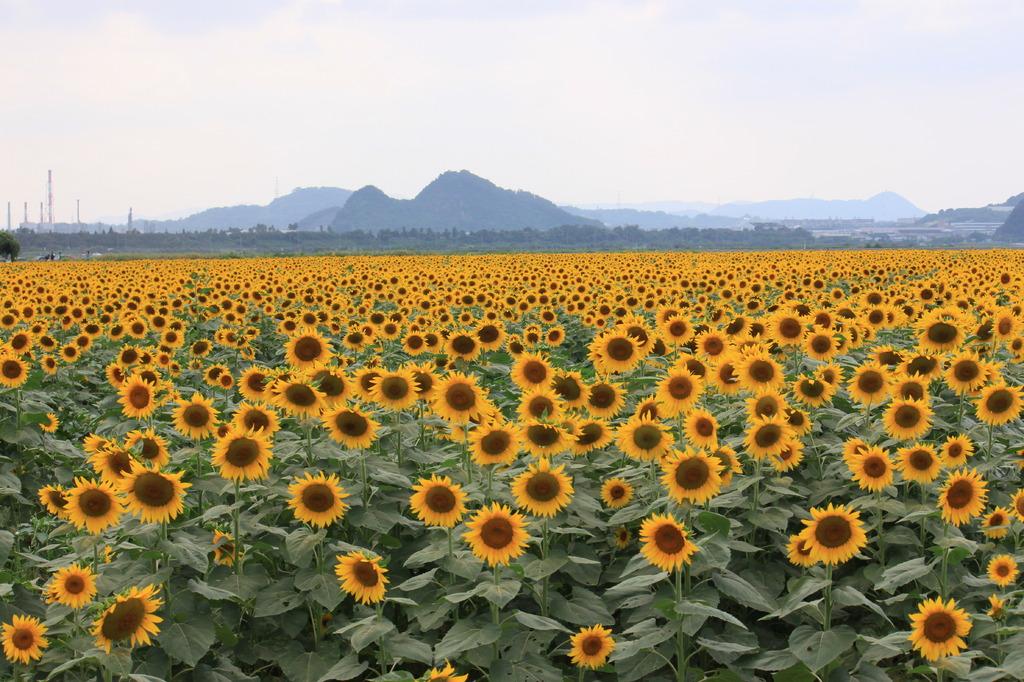 どこまで向日葵?