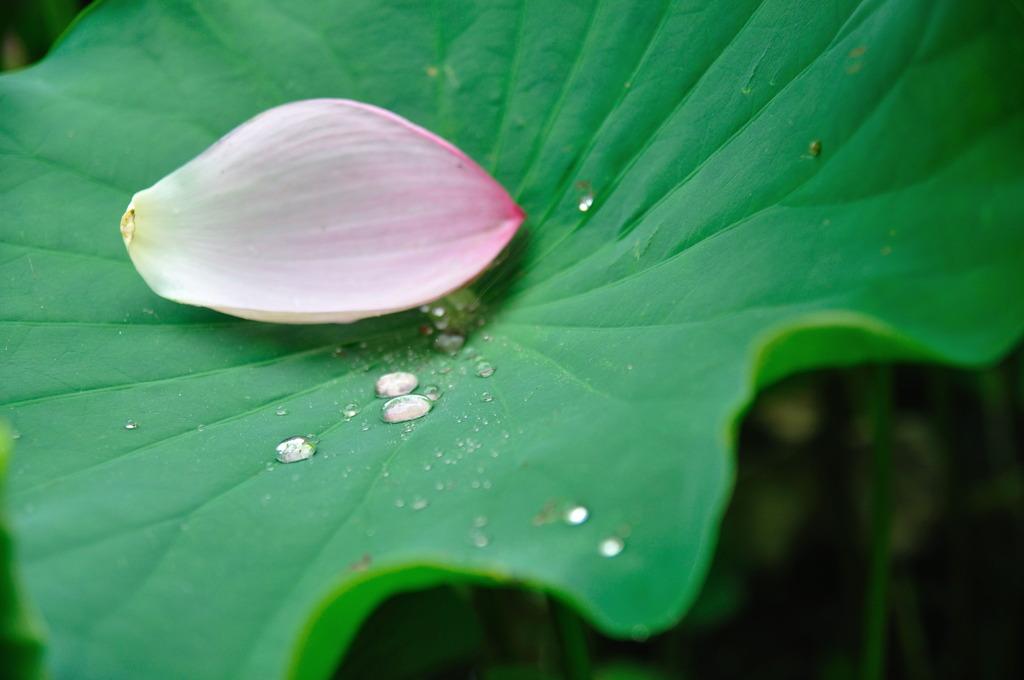 滴の中に閉じ込められた花弁