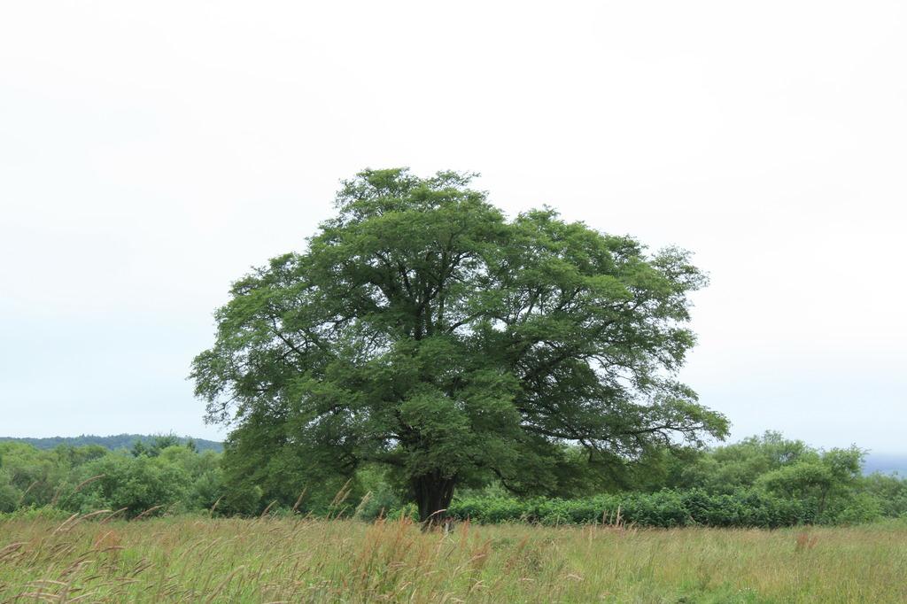はるにれの木2