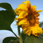 CANON Canon EOS Kiss X2で撮影した植物(Himawari)の写真(画像)