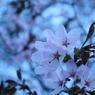 CANON Canon EOS Kiss X2で撮影した植物(想桜~omoizakura~)の写真(画像)