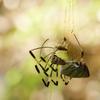 巣に絡まったクモ