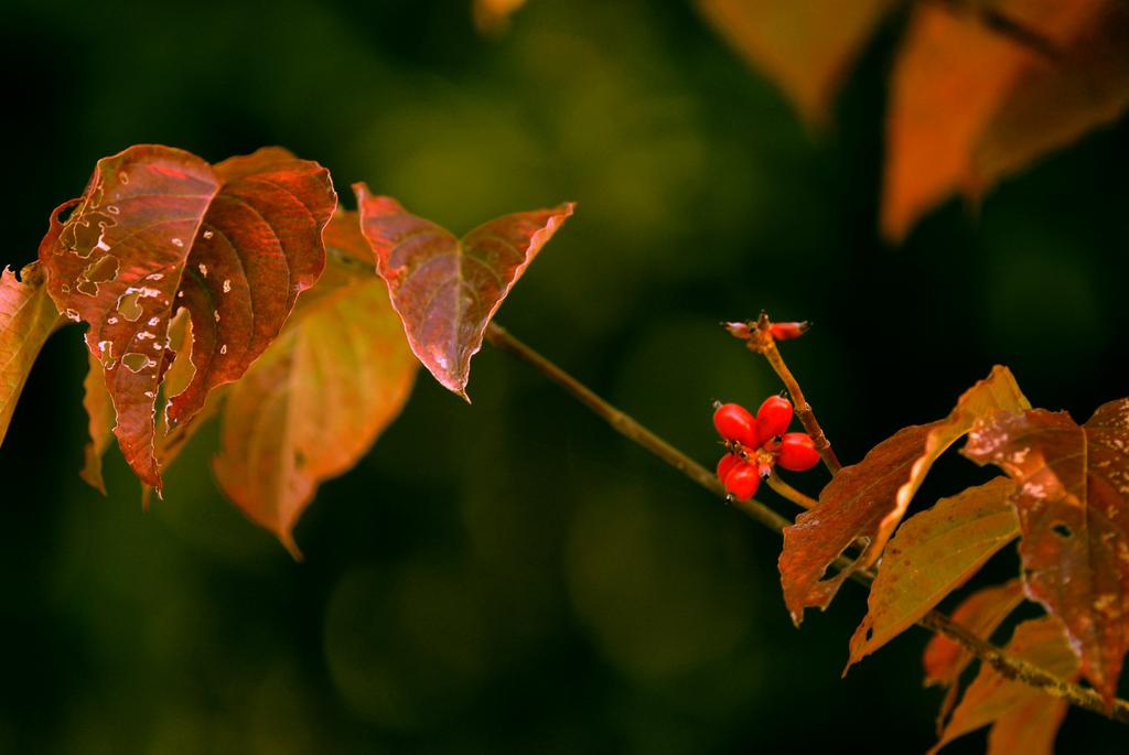ハナミズキの赤い実