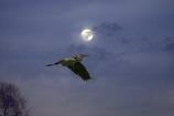 月夜を行く青鷺