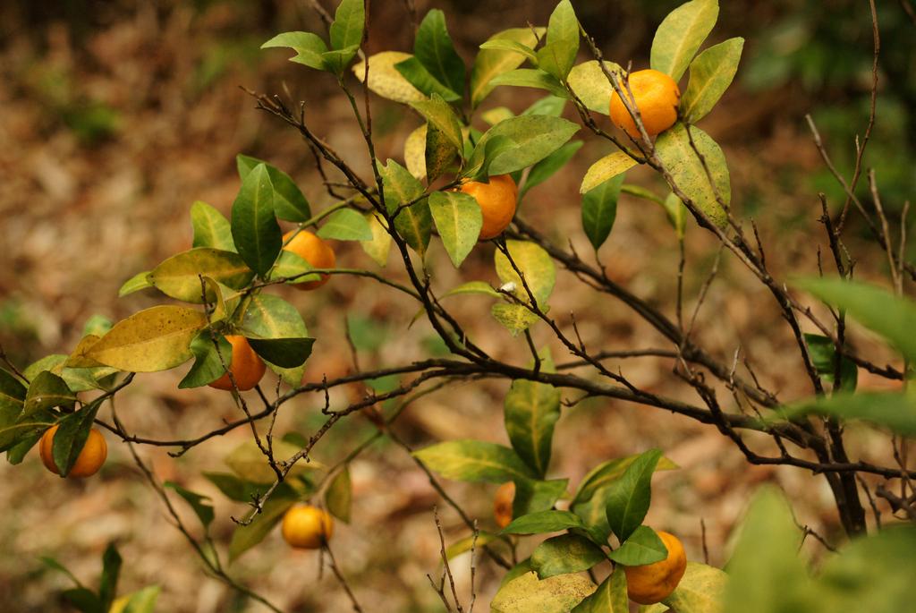 実りの秋-1,我が家の温州蜜柑