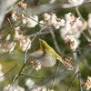 桜にメジロ飛ぶ