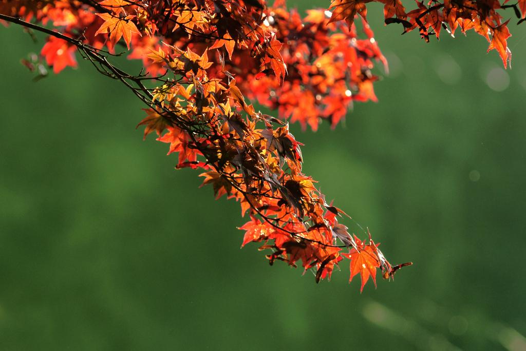 ノムラモミジも紅葉