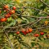 実りの秋-2,我が家の稚児柿