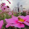 コスモスと蜂とカカシ