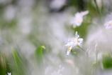 雲上胡蝶花