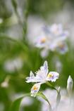 胡蝶花の季節