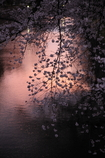 桜`11松本城