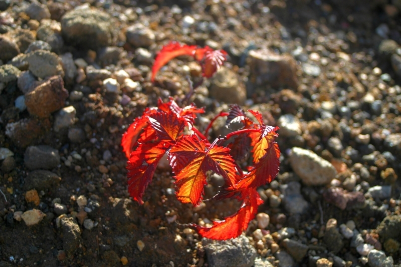小さな紅葉