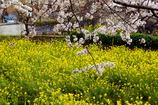 尾根緑道から見た桜と菜の花2