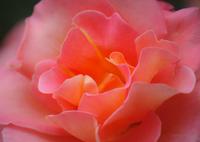 CANON Canon EOS M3で撮影した(花びら ~Rose~)の写真(画像)
