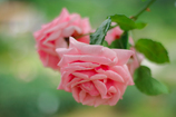Rose ~薔薇香る谷~