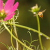 蜂とコスモス