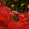紅葉と八朔