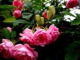 薔薇と小判草