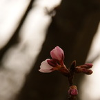 SONY DSLR-A350で撮影した植物(二人ぽっち (^o^)紅白)の写真(画像)