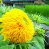 ヘンテコな向日葵