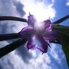 茄子の花と太陽