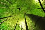 高台寺 ライトアップ竹林 だいま