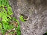 キノコ園のアマカエル