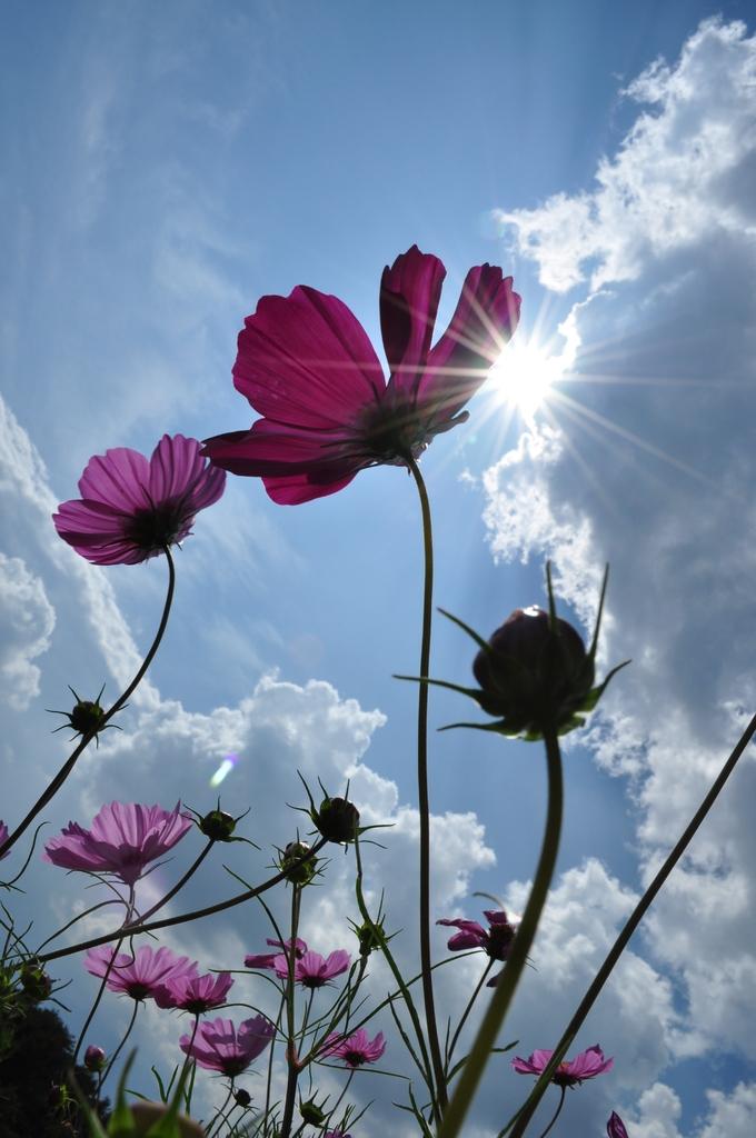 秋の太陽とコスモス