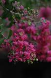 夏のピンク