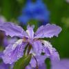 雨上がりの紫