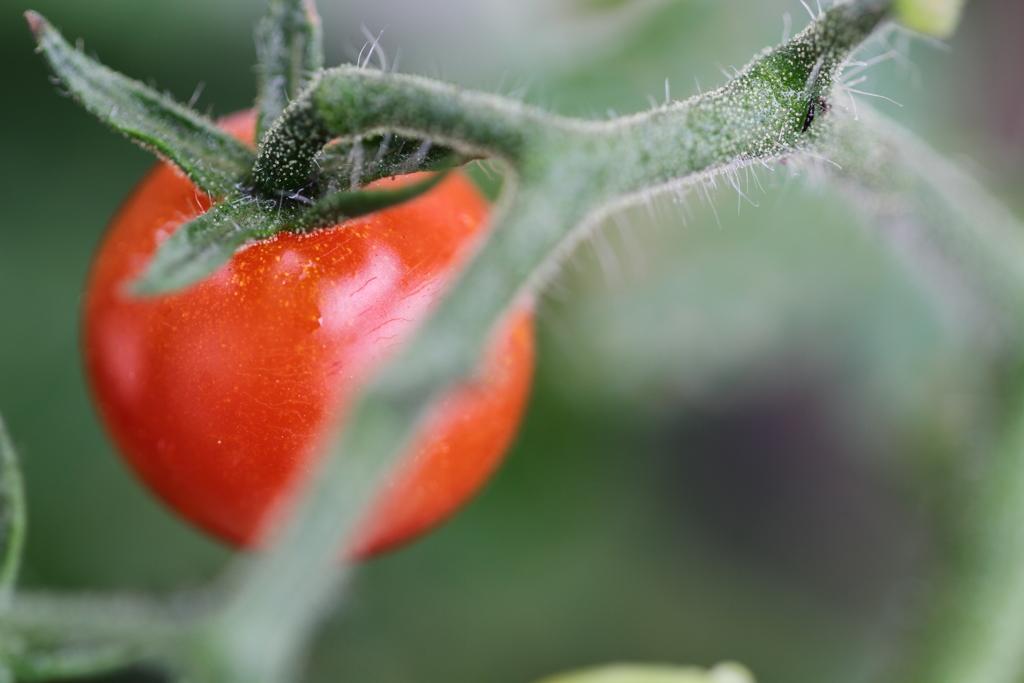 今年のミニトマト完熟の実 2018 ♪