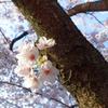 日向の胴吹き桜