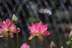 キラキラ蓮の花
