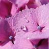 紫陽花の上の朝露