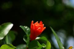 鮮やかに映える柘榴の花